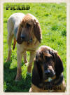 Bloodhound Puppy Law Enforcement Search and Rescue for Sale