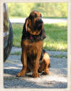 Working Bloodhound Puppies for Sale